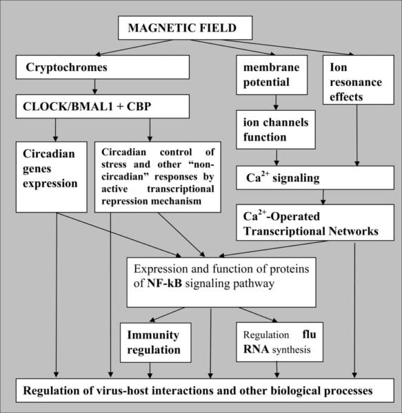 Figure 4: Biological causal sequences influenced by the magnetic field until the outbreak of an influenza pandemic (Zaporozhan & Ponomarenko 2010)
